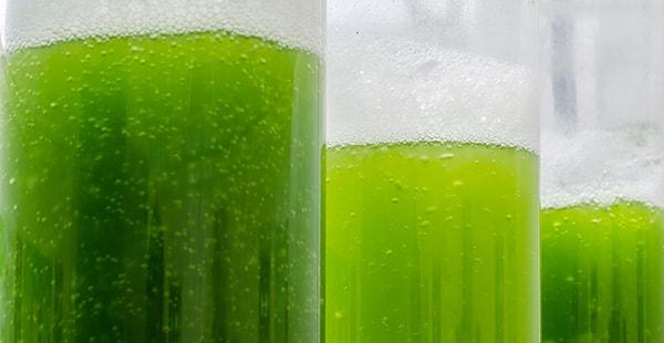 Algae in test tubes